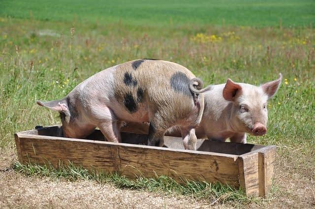 pigs 662001 640 - Cerdo Ecológico,carne de calidad