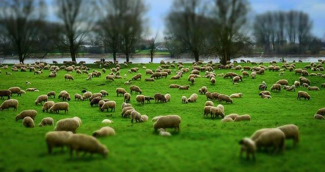 sheep 1305432 640 - sheep-1305432_640